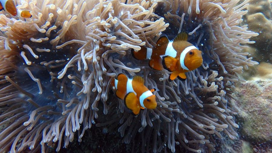 Clown fish Soft Coral Anemone Fish Coral Fish Scuba Diving Scuba Diving In Malaysia underwater photography Fundive EyeEm Selects Animals In The Wild Sea Life Animal Wildlife Underwater Sea Animal Themes Marine UnderSea Animal Water Coral Group Of Animals Nature Ecosystem  Clown Fish Fish Invertebrate