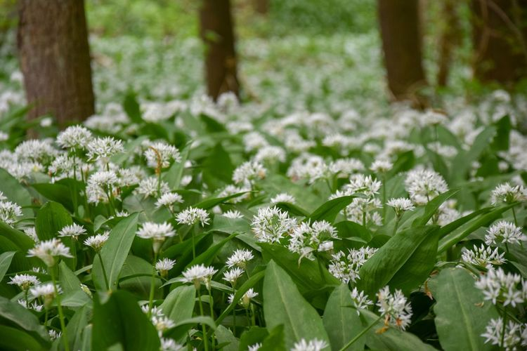 Flower White Flower Bear's Garlic Bear Leek Broad-leaved Garlic Allium Ursinum Amaryllidaceae Family Amaryllidaceae Asparagales Wild Garlic ,woods Nature Trees Wild Garlic Flower Wild Garlic Field Wild Garlic Flowers Wild Garlic Wood Garlic Buckrams Ramsons Hallerbos Hallerbos - Bois De Hal Hallerbos -bois De Hal Allium Allium Flower Flowering Plant Flower Plant Freshness Beauty In Nature Vulnerability  Fragility Green Color