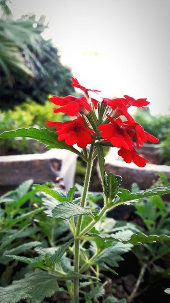 Red Flower Naturelovers Nature_collection MyShoeboxOfPhotographs Mycreativefeed Delhidiaries EyeEm Nature Lover First Eyeem Photo