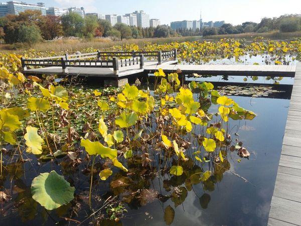 Ilsan  City Park 연꽃