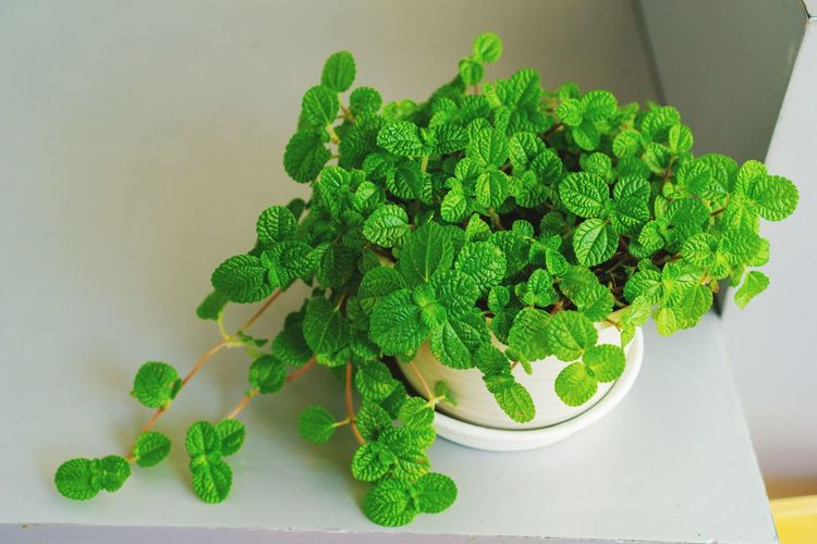 Green Color Herb Indoors  Mint Leaf - Culinary Plant No People Healthy Eating Close-up Day Nature Flower