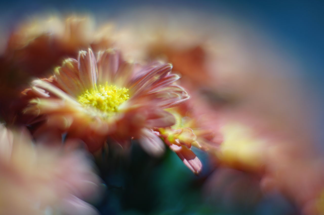 flower, nature, selective focus, petal, growth, beauty in nature, fragility, plant, flower head, freshness, close-up, outdoors, no people, day, blooming