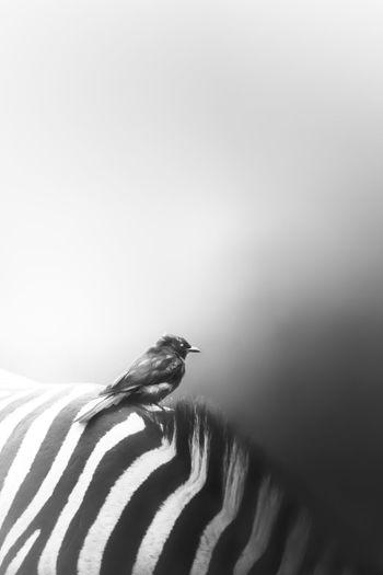 Side view of bird perching on zebra