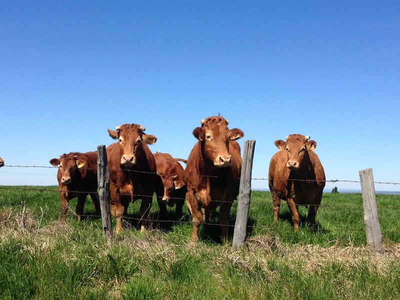 Cows in the nature Animal Themes Blue Clear Sky Copy Space Cow Cows Domestic Animals Field Full Length Grass Grazing Herbivorous Horse Landscape Livestock Mammal Nature Rural Scene Standing Togetherness Working Animal