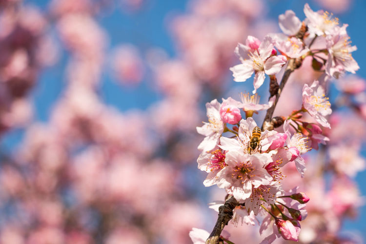 A cherry blossom's feast. Bee Blooming Cherry Blossom Cherry Tree Flower Spring