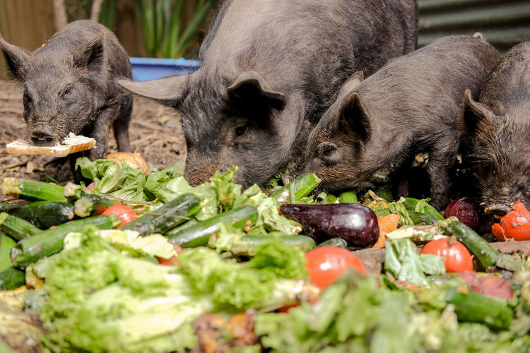 Close-Up Of Pigs Eating Vegetables