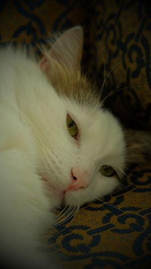 Beautiful Cats Catsofeyem Bianco Whiskers White Beyaz Xt1 Fujifilm Fujifilm_xseries Fujifilm Xt1