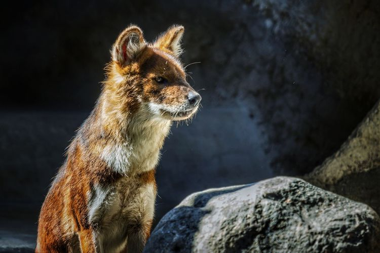 Close-up of red wolf on rock