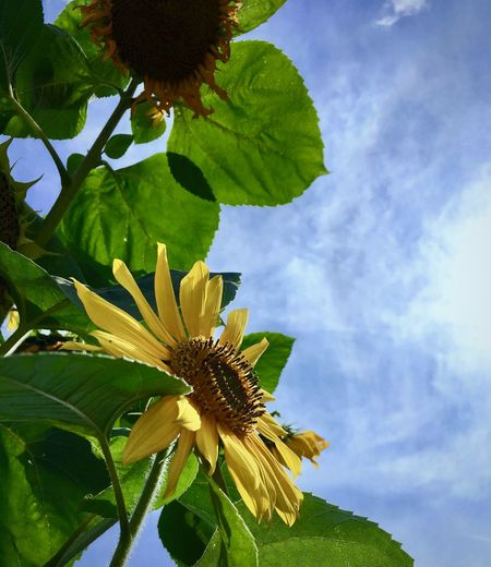 Beauty In Nature Blue Cloud Cloud - Sky Cloudy Flower Flower Head Freshness Garden Gardening Green Color Growing Growth In Bloom Leaf Low Angle View Nature Outdoors Petal Scenics Sky Summer Summertime Sunflower Tranquility