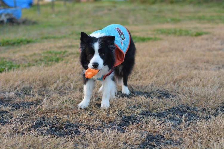 Snap Nikon D7100 Border Collie Dog My Border Collie I Love My Dog