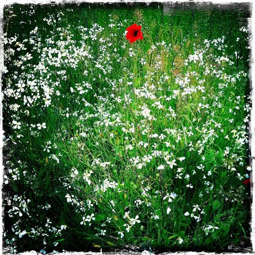 Poppy Outdoors Hipstamatic Taking Photos Summertime Relaxing Summer ☀ Relaxation Countyside wildflowers