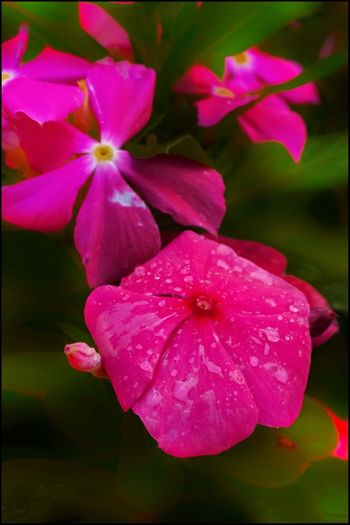 Wet Stuff #97, Vinca plant - 8/3/18 City Wilderness EyeEmNewHere Beauty & Design In Nature Close-up Colorful Flower Flowering Plant Malephotographerofthemonth My Point Of View