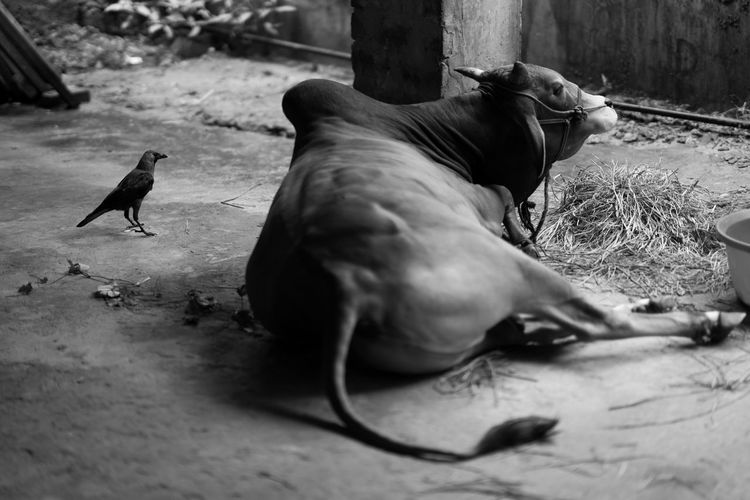 Cow sitting by bird in stable