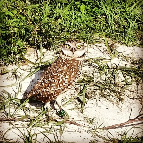 Q-quizzical Athene Floridana nest number 12 inhabitant decided to pose, all others were too shy. We have now baptized him Quizzy for his questioning look. Adapted To The City Owl Art Owllife Burrowing Owl