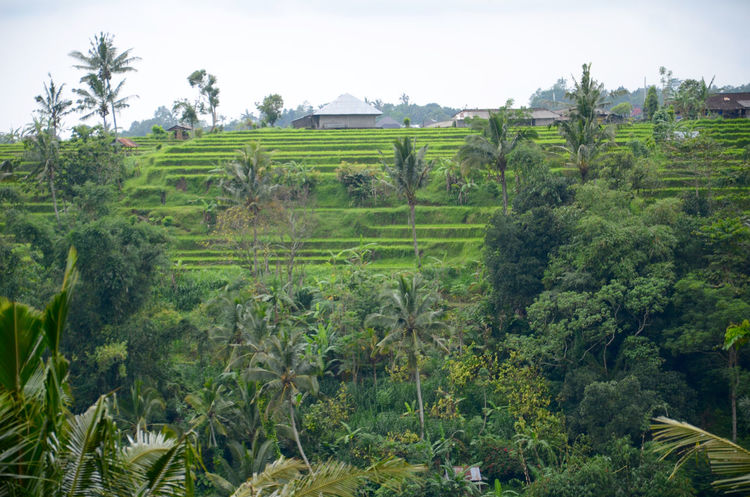 Bali, Indonesia Agriculture Beauty In Nature Day Field Green Color Growth Landscape Nature No People Outdoors Palm Tree Plant Rice Paddy Rice Terrace Rural Scene Scenics Sky Terrace Field Tranquil Scene Tranquility Tree
