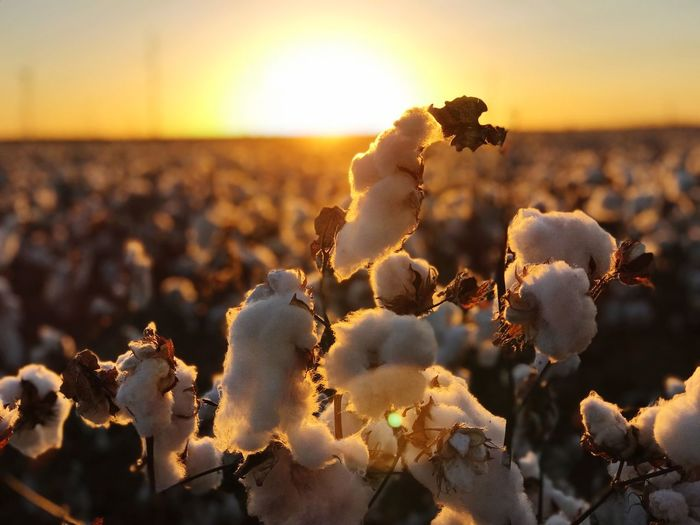 Close-up of white flowering plants during sunset