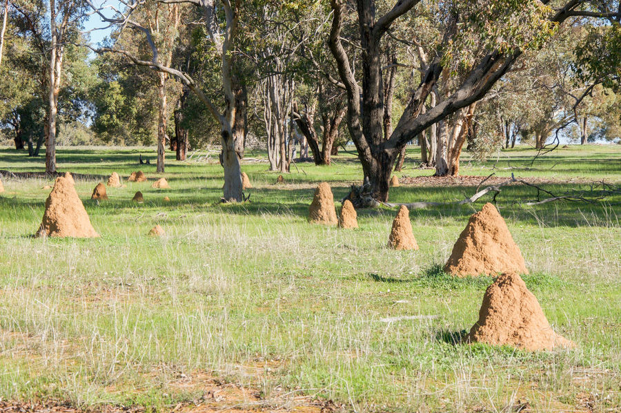 Group of termite mounds in grassy farmland in Western Australia Abundance Australia Australian Beauty In Nature Conical Day Farmland Grass Group Growth Habitat Insect Landscape Mound Natural Nature Outdoors Rural Sand Termite Termites Tree Western Australia Wildlife Wildlife In Nature