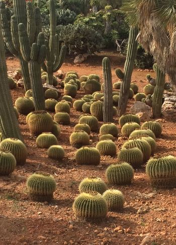 Beauty In Nature Botanical Garden Cactus Cactus Cactus Garden Day Field Green Color Las Salinas Nature No People Outdoors Pattern Plant Spiked Sunlight Thorn Tranquility