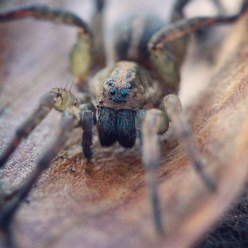 Animal Themes Animals In The Wild Arachnid Arachnid Photography Arachnids Arachnophobia Close-up Eight Eight Legged Fangs Insect Nature No People One Animal Outdoors Scary Scary Face Spider Wolf Spider