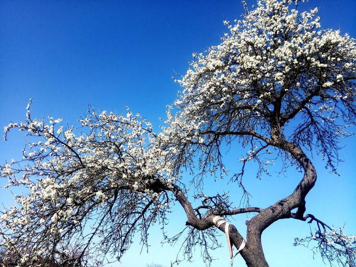 Plum Blossom Plum Tree Tree Flower Clear Sky Branch Blue Sky Blossom Plant Life Spring Single Tree Flora Botanical Blossoming  In Bloom