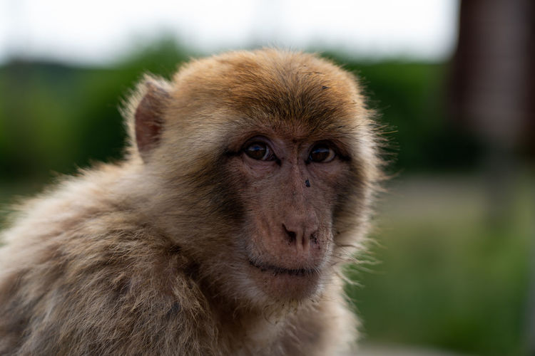 Monkey at Blåvand Zoo. Animal Themes Day Focus On Foreground Monkey No People One Animal Outdoors Portrait Primate