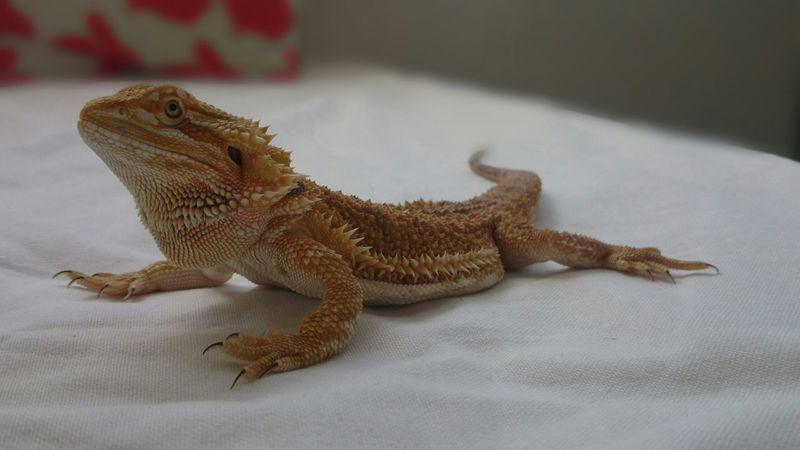 Tetzuo I Love My Pet Lizard Cuteness Lizard