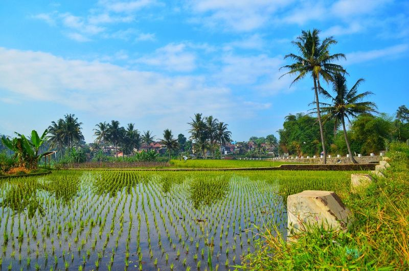 Village Sky Photography Landscape INDONESIA Cloud - Sky Rice Field Tree Water Irrigation Equipment Palm Tree Rice Paddy Flower Agriculture Rural Scene Field Sky Terraced Field Cultivated Land Farm Plantation Botanical Garden Coconut Palm Tree Agricultural Field Farmland Crop  Cultivated Patchwork Landscape