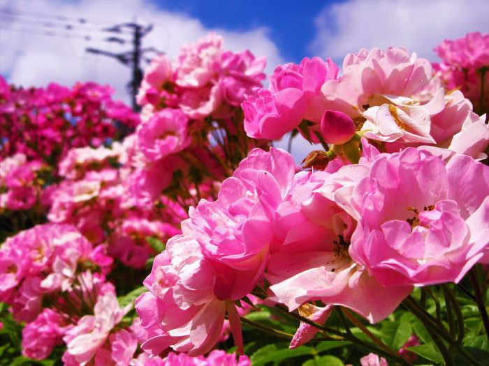 Nature Close-up Flower Flower Head Flowering Plant Nature No People Outdoors Pink Color Plant Rosé Sky Sunlight