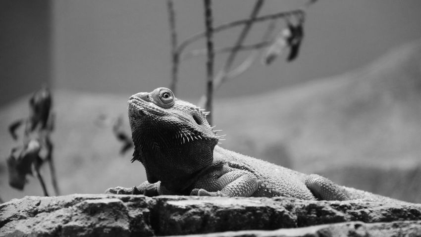 Animal Themes Animal Wildlife Animals In The Wild Bearded Dragon Blackandwhite Day Focus On Foreground Iguana Lizard Outdoors Reptile Rock - Object