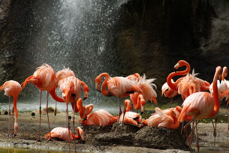 Flamingos Against Waterfall