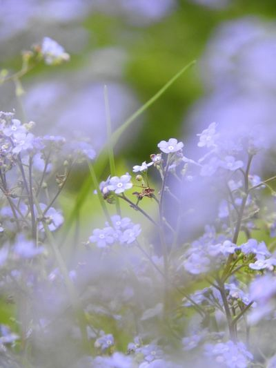 Purple forget-me-nots blooming outdoors