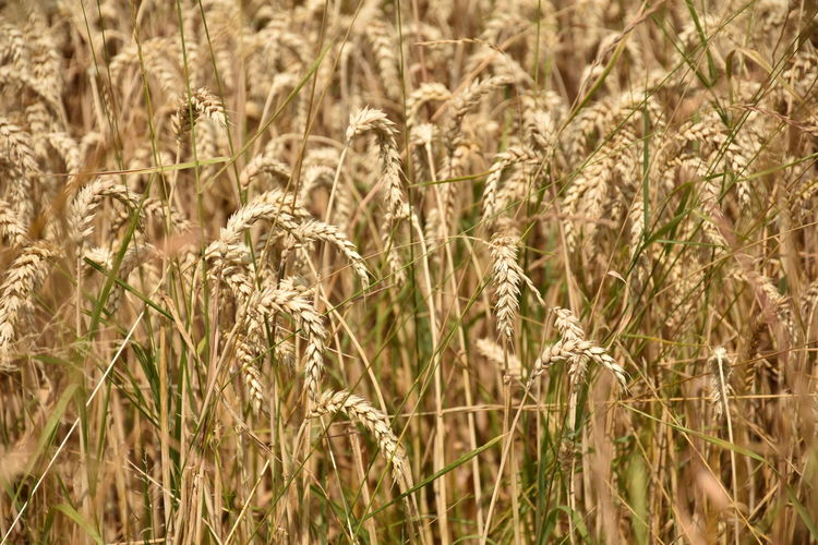 Agriculture Backgrounds Beauty In Nature Cereal Plant Close-up Crop  Day Farm Field Full Frame Growth Land Landscape Nature No People Oat - Crop Outdoors Plant Rural Scene Selective Focus Stalk Tranquility Wheat