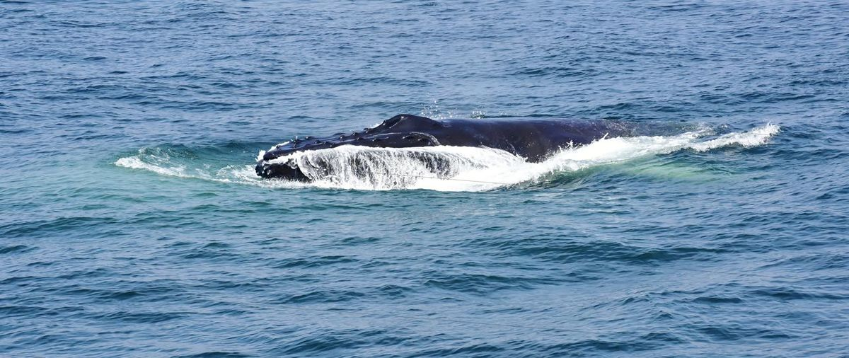 Humpback whale surfacing and feeding in the atlantic ocean