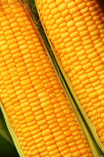Corn Food Corn In The Pod Vegetable And Fruit Corn Color Yellow Tones Natural Colors ใน Thailand