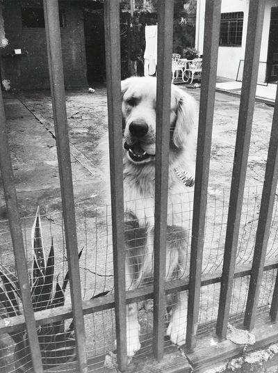 O cachorro da casa que fica perto do parque do lago, um dos mais fofos que eu já vi inclusive 💕 Dog Love Brasilian Golden Retriever First Eyeem Photo