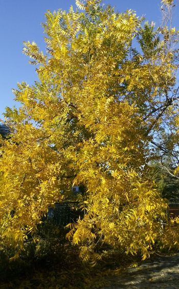 Colorful Yellow Leafs of this Tree up the Mountains in Kalopanayiotis / Kalopanagiotis Village of Cyprus • Yellow Leaves of Trees • TreePorn of the Nature • Tree_collection  in Nature_collection • Hugging A Tree like true EyeEm Nature Lover • From My Point Of View • Eye4photography  EyeEm Best Shots • NEM Submissions • EE_Daily: Yellow Wednesday • Naturelovers Nature Photography Beautiful Nature