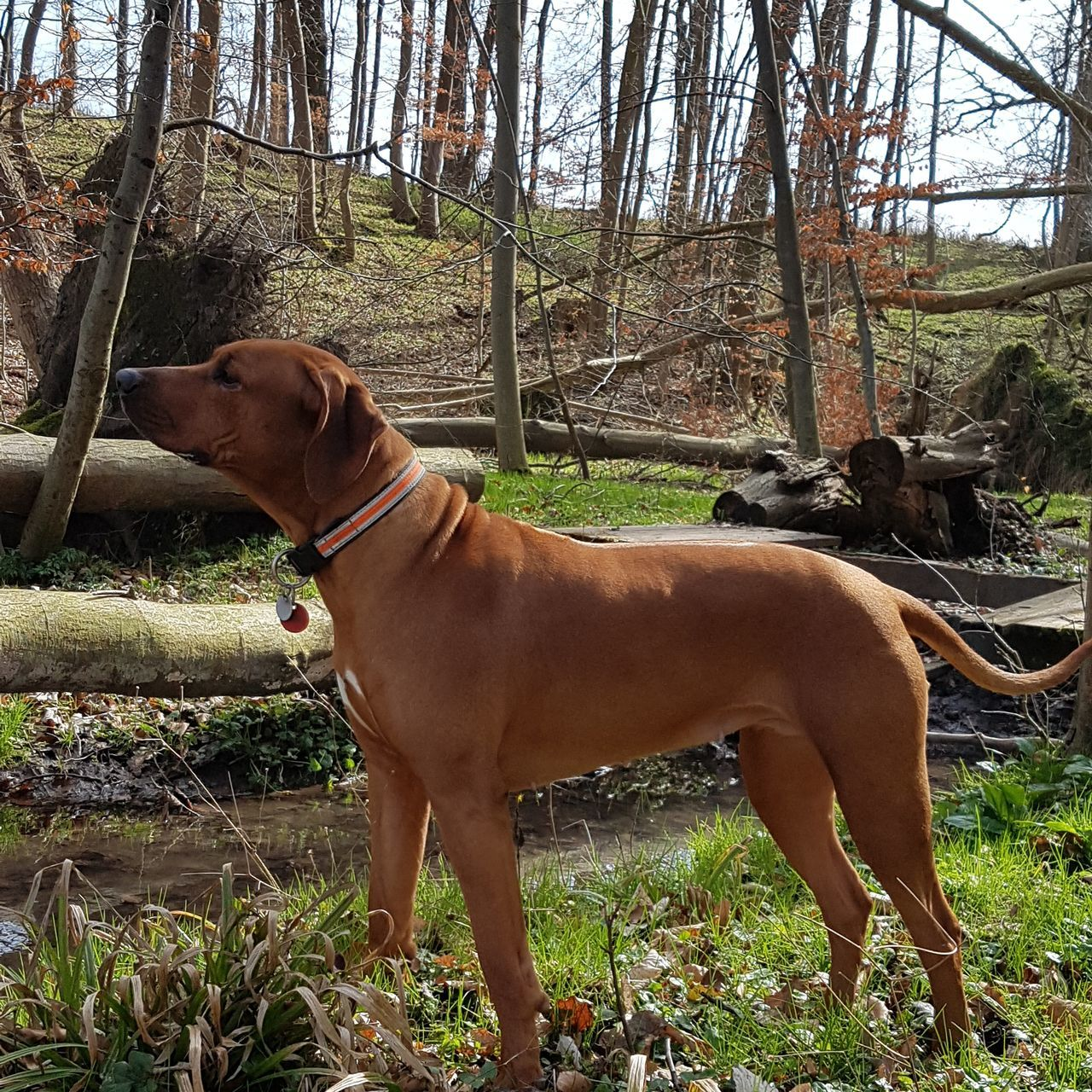 mammal, animal themes, domestic animals, vertebrate, domestic, animal, pets, one animal, plant, land, canine, tree, dog, standing, nature, day, field, no people, collar, side view, outdoors, herbivorous