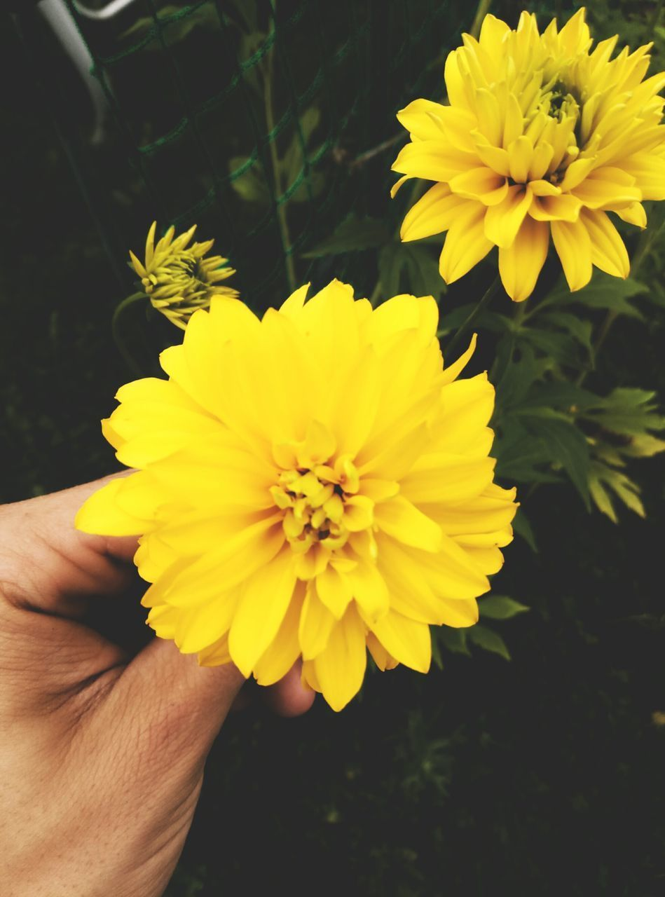 flower, yellow, human hand, freshness, human body part, fragility, petal, nature, beauty in nature, flower head, one person, outdoors, real people, close-up, holding, day, focus on foreground, growth, plant, people