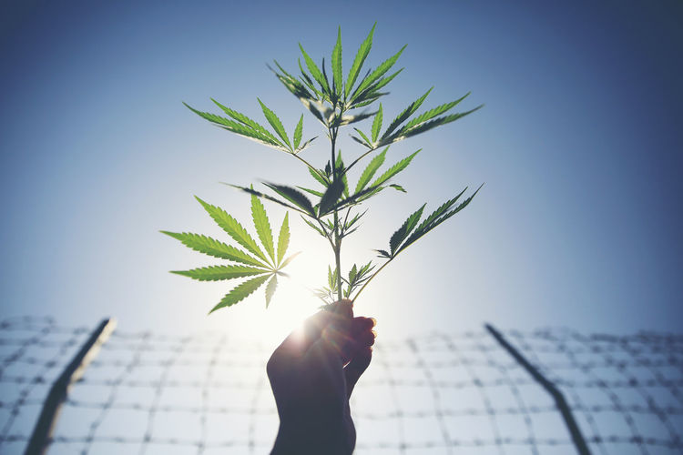 Close-Up Of Cropped Hand Holding Cannabis Plant Against Clear Blue Sky