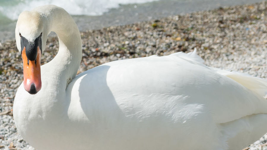 Close-up of swan swimming