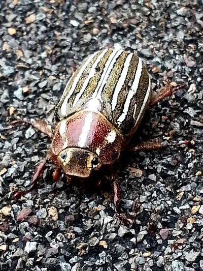 Beetle Closeup Portland Oregon Usa Bugs outside scenery beetle