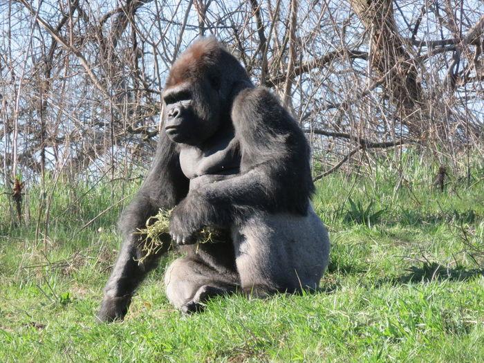 Gorilla sitting on grassy field