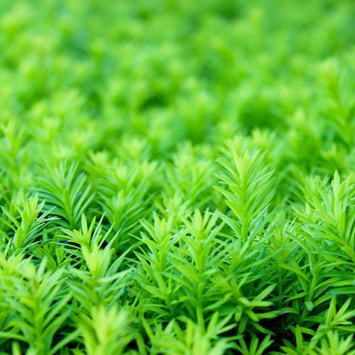Just because I 💚 green! Happy Weekend to all! Evergreen Shrubs Green Color Growth Close-up Beauty In Nature Backgrounds Full Frame Nature