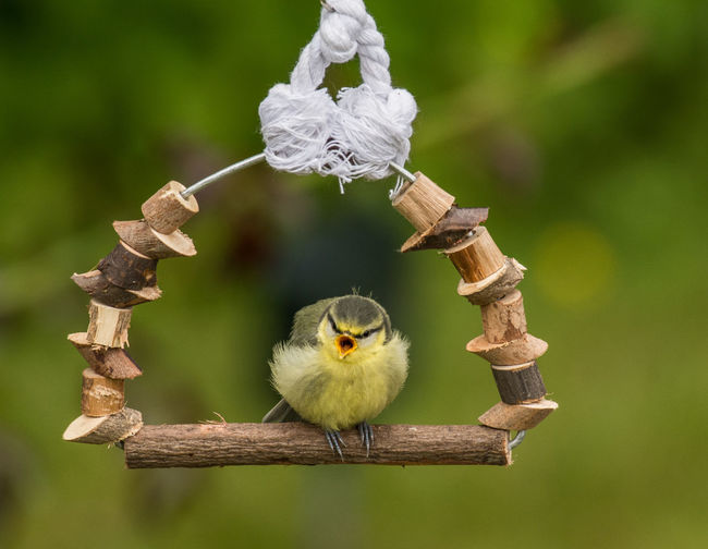 Fledgling waiting to be fed Baby Baby Blue Titmouse Feeding  Nature Photography Wildlife & Nature Wildlife Photography Animal Animal Wildlife Bird Blue Tit,bird,flying, Branch Fledgling Garden Garden Photography Nature Nature Lovers Outdoors Perching Swing Tree Wood - Material