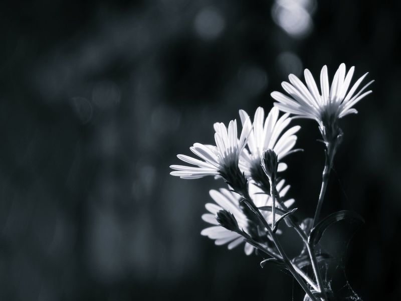 Aster amellus Aster Amellus Black Background European Michaelmas Daisy Aster Asteraceae Beauty In Nature Close-up Day Flower Focus On Foreground Fragility Freshness Nature No People Outdoors Petal Plant Pollen Wall Picture White Color