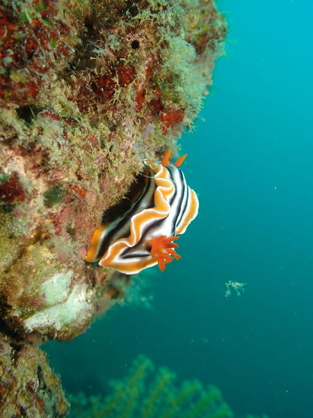 Nudibranch Diving Nudibranches Animal Themes Animals In The Wild Diving Photography Nature One Animal Sea Sea Life UnderSea Underwater Water