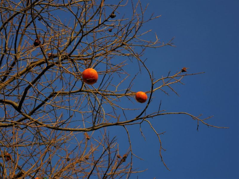 Bare Tree Beauty In Nature Branch Clear Sky Close-up Day Food Freshness Fruit Growth Low Angle View Nature No People Orange Color Outdoors Persimmon Red Sky Tree Winter EyEmNewHere