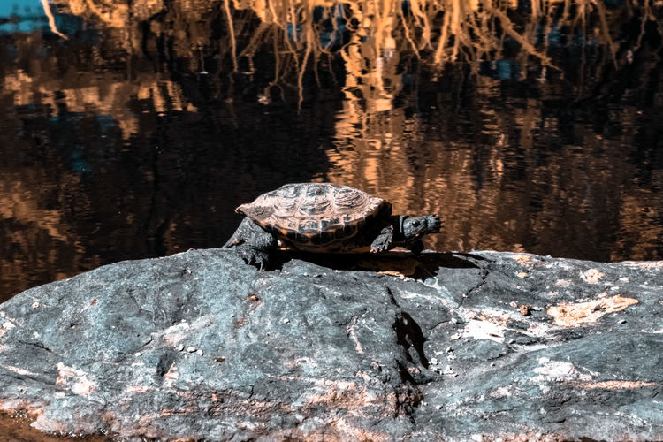 Infrared Tortoise @ Kariya Park [IR] Beauty In Nature Canada Coast To Coast Capture The Moment Check This Out Color Of Technology Enjoying Life Exceptional Photographs Eye4photography  EyeEm Best Shots First Eyeem Photo Getting Inspired Hanging Out Hello World Infrared Light And Shadow Nature People And Places Relaxing Rock Taking Photos Tortoise Tree Walking Around Water Water Reflections