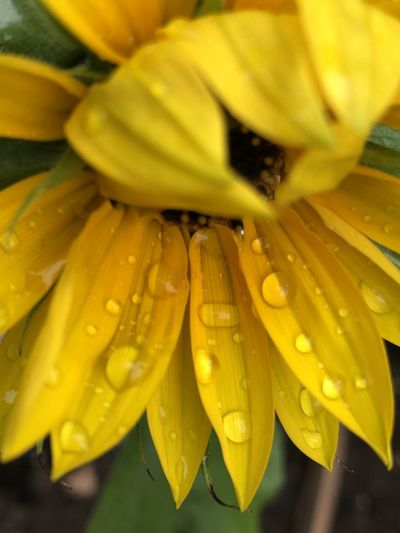 Close-up of wet yellow flowering plant
