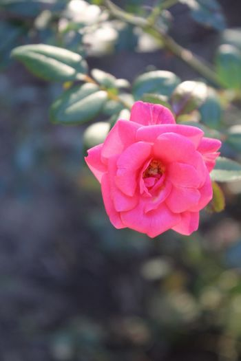 Flower Pink Color Petal Rose - Flower Flower Head Nature Fragility Plant Blossom Close-up No People Beauty In Nature Fashion Show Outdoors Freshness Growth Day Peony  Retaining Wall Eyubsultancamii EyeEm EyeEm Gallery Eyeemphotography Canon 1300d Sunset Silhouettes Politics And Government Sunbeam
